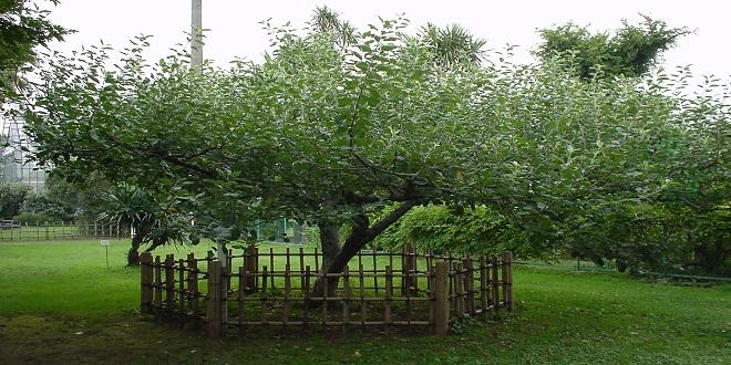 شجرة نيوتن