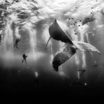 الغوص مع الحيتان الحدباء