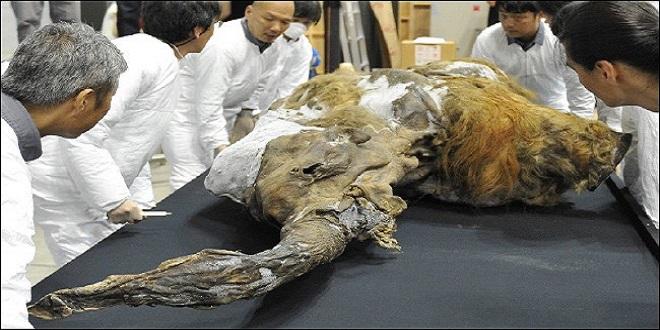 العثور على ماموث عمره 39 الف عام في سيبريا