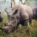 وحيد القرن الابيض فى اوغندا
