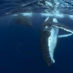 السباحة وسط الحيتان