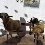 مصارعة الكباش فى الجزائر