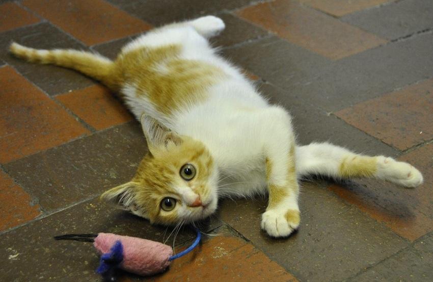 القطة كايرو