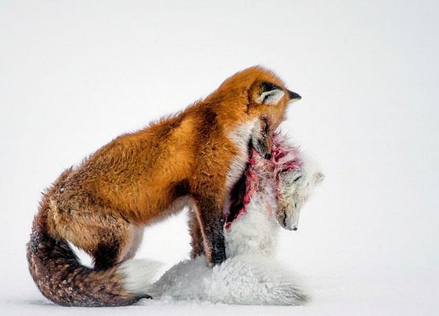 ثعلب احمر يمسك جثة ثعلب ابيض