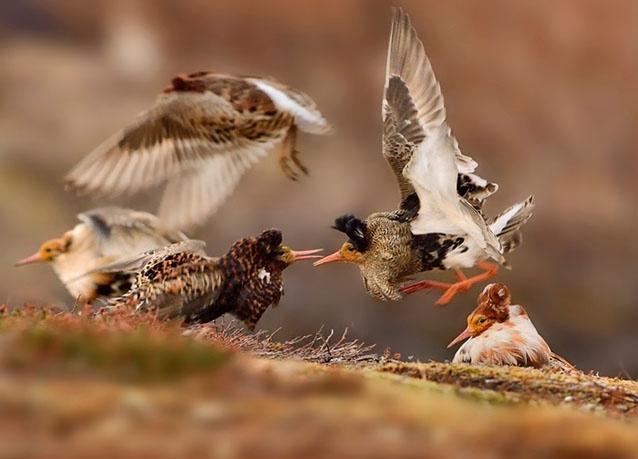 طيور تتصارع مع بعضها فى النرويج