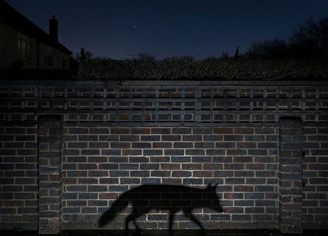 ظل ثعلب فى حديقة ببريطانيا