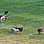 بط يسبح ببحيرة أكلمام أزكزا