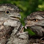 طيور صغيرة تشبه البوم