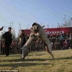 مصارعة الكلاب فى الصين