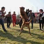 بالصور.. مصارعة الكلاب فى الصين.. بيقطعوا بعض!!