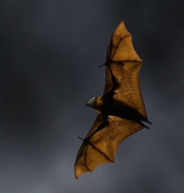 خفافيش تطير فى كل مكان