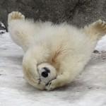 صور صغار الدببة