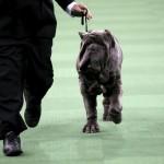 مسابقة اجمل كلب فى العالم