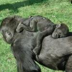 الأمومة فى عالم الحيوان