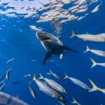 صور  اسماك القرش