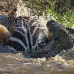 الصراع بين تمساح وحمار وحشى