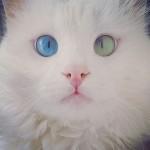 قط بعين خضرا و الاخرى زرقاء