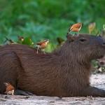 لعب الحيوانات مع خنزير الماء