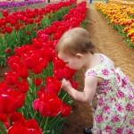 مهرجان  زهرة التوليب