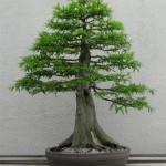 """أشجار""""البونساي """""""