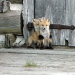 صور جميلة لصغار الثعالب