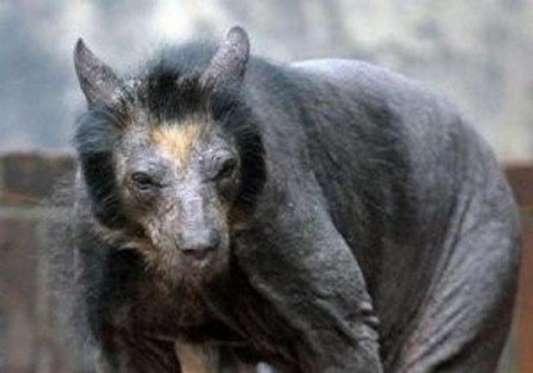 حيوان التشوباكابرا