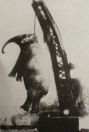شنق الفيلة مارى